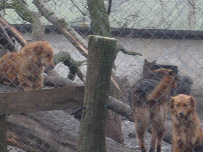 MERLIN - 2 ou 3 ans - en danger dans un refuge en Serbie (FA avant octobre) Merli_10