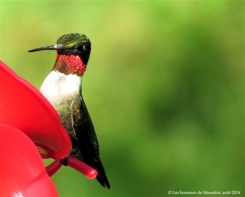 Un jeune colibri, j'ai reçu la nouvelle tout à l'heure... _yyty110