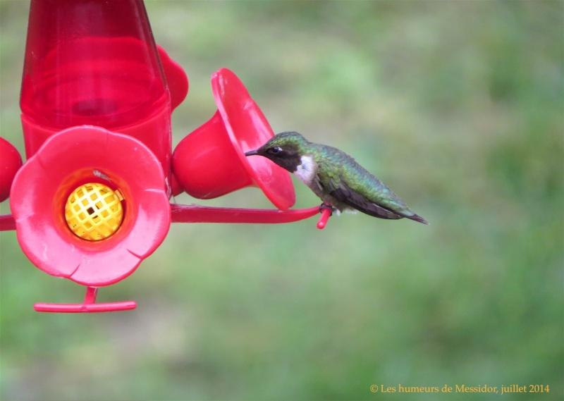 Un jeune colibri, j'ai reçu la nouvelle tout à l'heure... C1472610