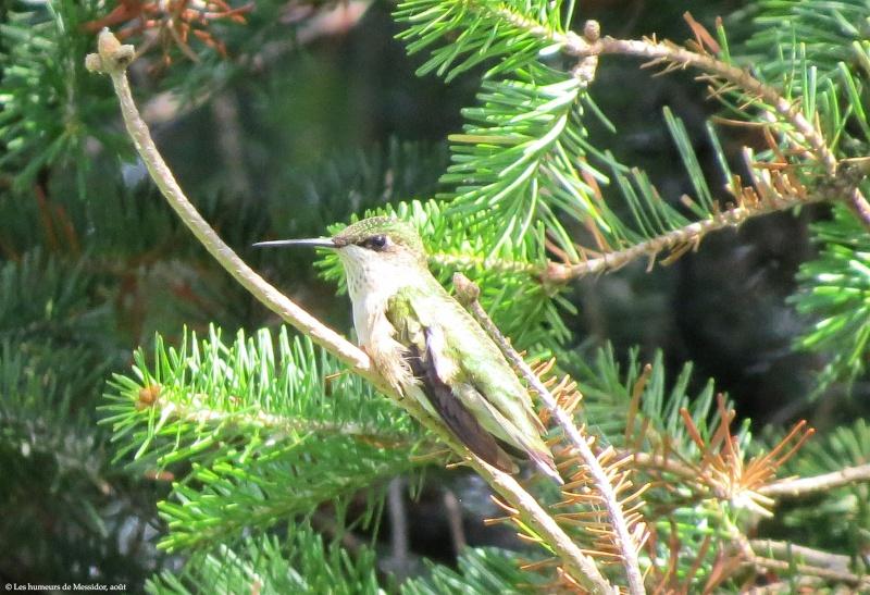 Un jeune colibri, j'ai reçu la nouvelle tout à l'heure... C1482012