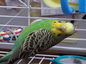 quel est le sexe de mes 2 oiseaux 5510