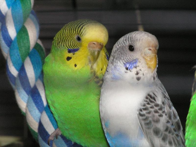 quel est le sexe de mes 2 oiseaux P1010010