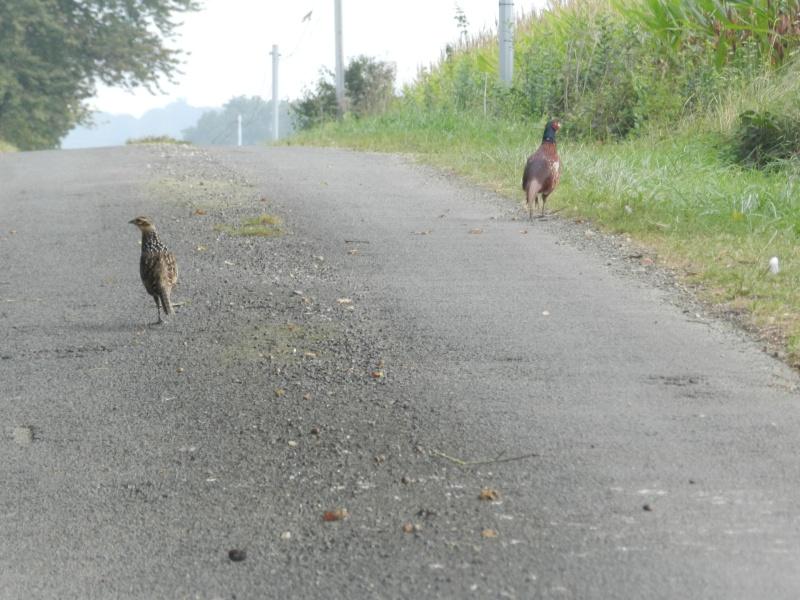 Faisans en famille élargie (septembre 2014) ou safari en Prius Vauvy103