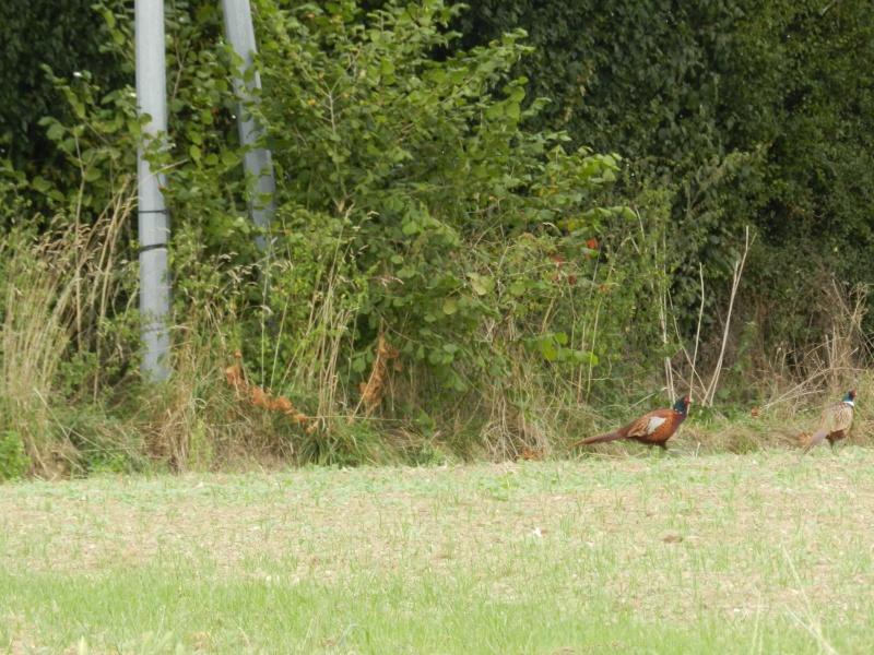Faisans en famille élargie (septembre 2014) ou safari en Prius Vauvy106