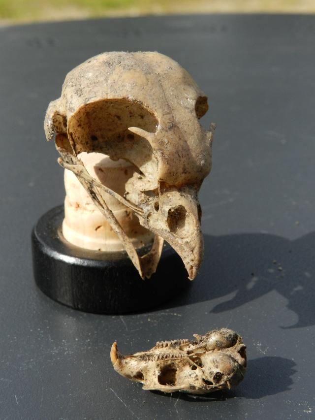 Squelettes à gogo Vauvyr15
