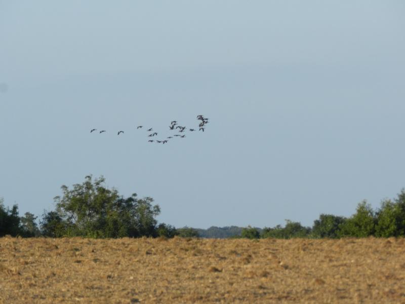 Les oies s'envolent (septembre 2014) Vauvyr98