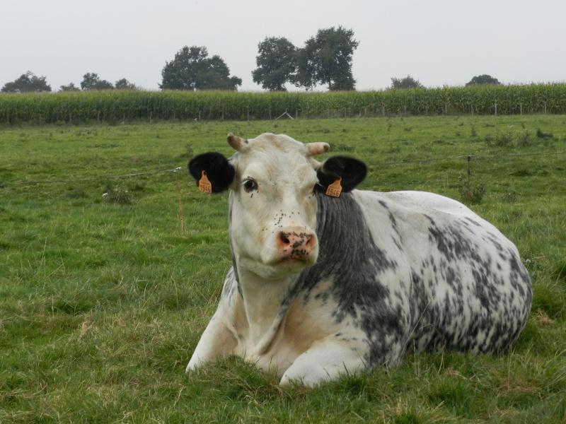 une vache de concours Vauvyr99