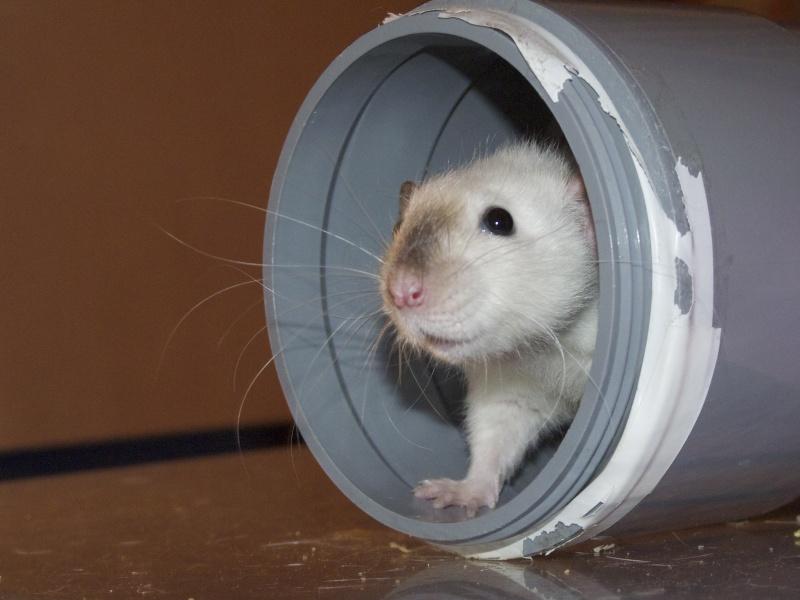 Les Rats Geures de Sam et Sabelette - Page 4 P1060710