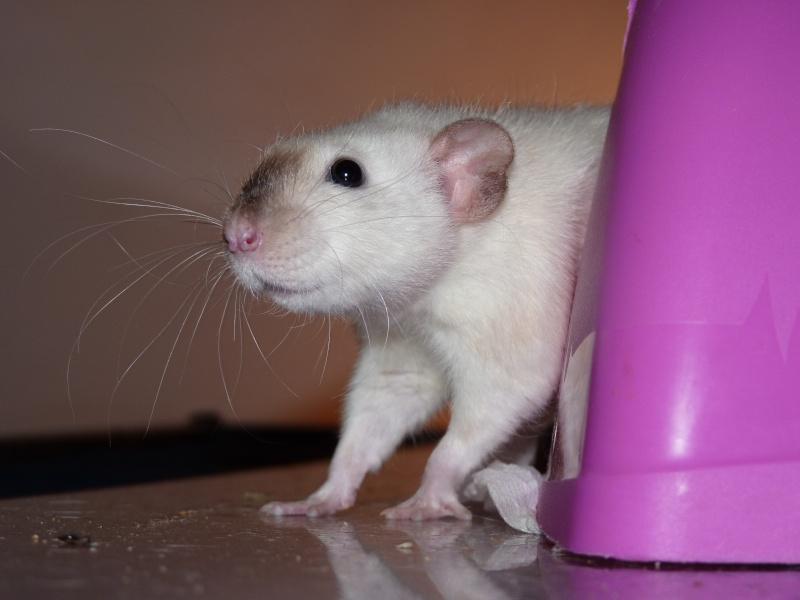 Les Rats Geures de Sam et Sabelette - Page 4 P1060711