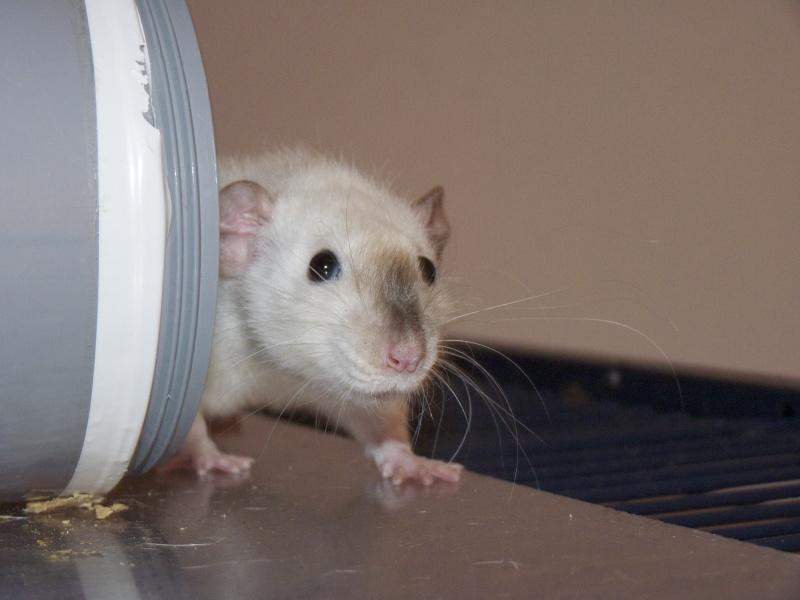Les Rats Geures de Sam et Sabelette - Page 4 P1060712