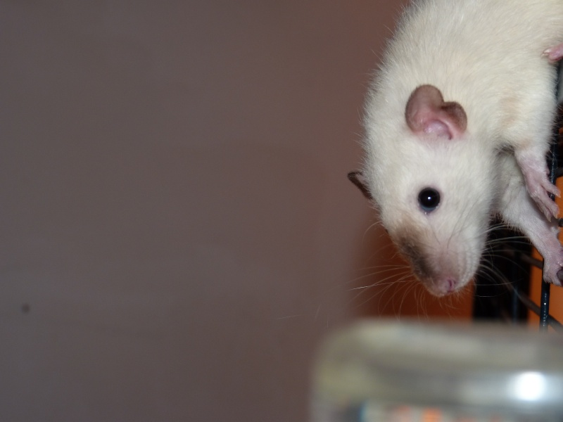 Les Rats Geures de Sam et Sabelette - Page 4 P1060714