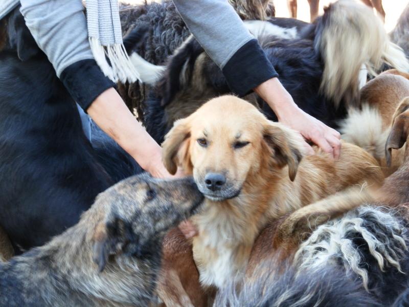 BOUNDASH II, né 2012, 25 kg (BELLA) Pris en charge Association Animals Rescue (Belgique) Pa080328