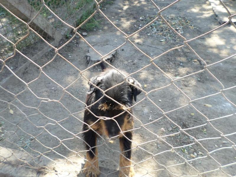 ZLOYA, M-Type Jagterrier, né 2009, 10 kg, aveugle (BELLA) - En FA chez Corinne91(départ91) Sam_1041