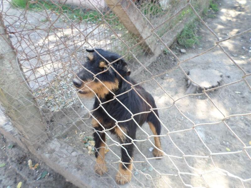 ZLOYA, M-Type Jagterrier, né 2009, 10 kg, aveugle (BELLA) - En FA chez Corinne91(départ91) Sam_1042