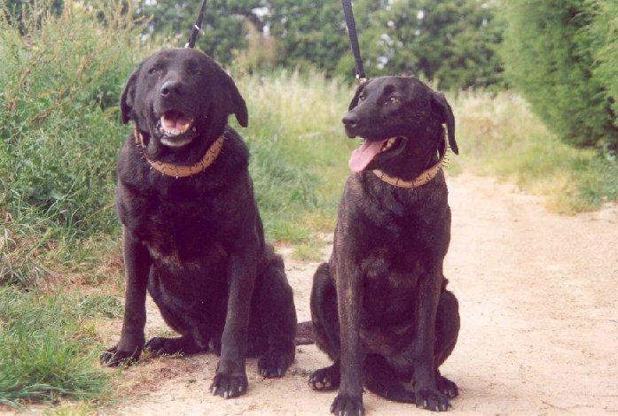 Cão de Castro Laboreiro... Parcas10