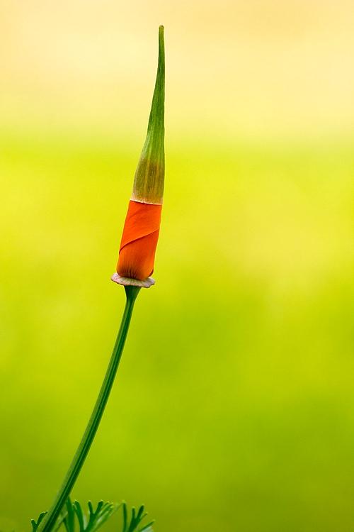 Pavot de Californie Fleur_10