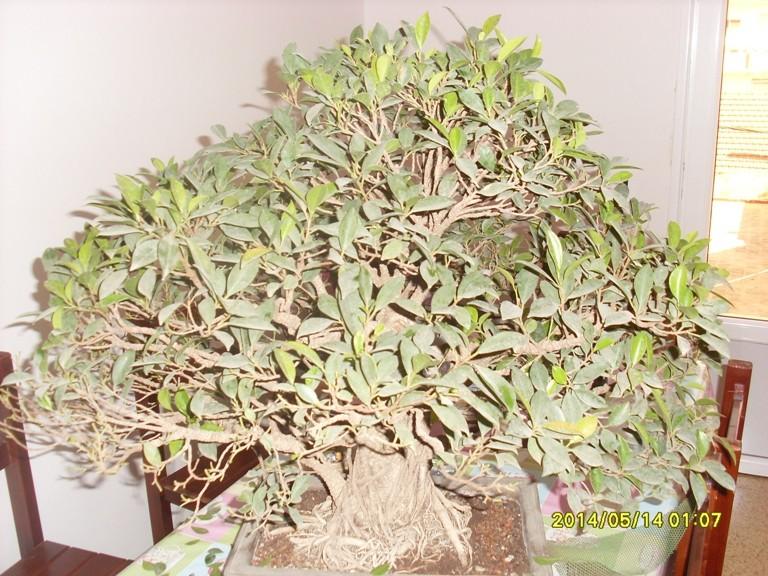 Défoliation et rempotage d'un ficuus rétusa  Ficus_10
