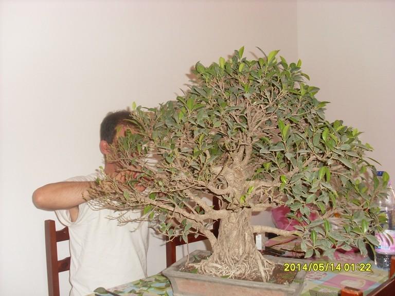 Défoliation et rempotage d'un ficuus rétusa  Ficus_11