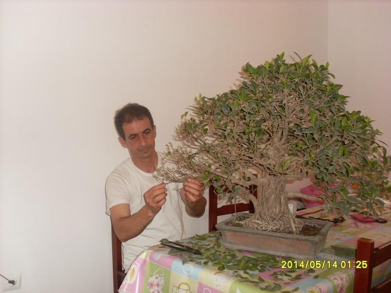 Défoliation et rempotage d'un ficuus rétusa  Ficus_12