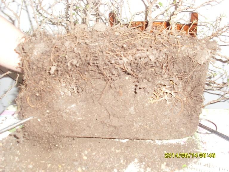 Défoliation et rempotage d'un ficuus rétusa  Remp_f12