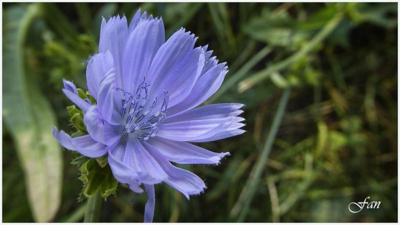 Fleurs de mes chemins P1000712