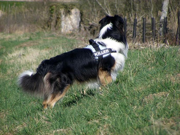 Vos chiens et leurs harnais! Photo  - Page 5 Dscf5610