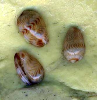 Gibberula lucia - Jousseaume, 1877  Gibber10