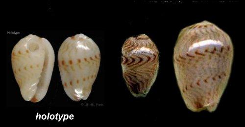 Gibberula almadiensis - Pin & Boyer, 1995 Gibber12