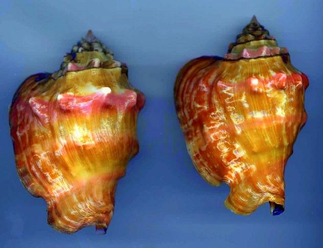 Strombidae Thetystrombus latus - (Gmelin, 1791) Latus_10