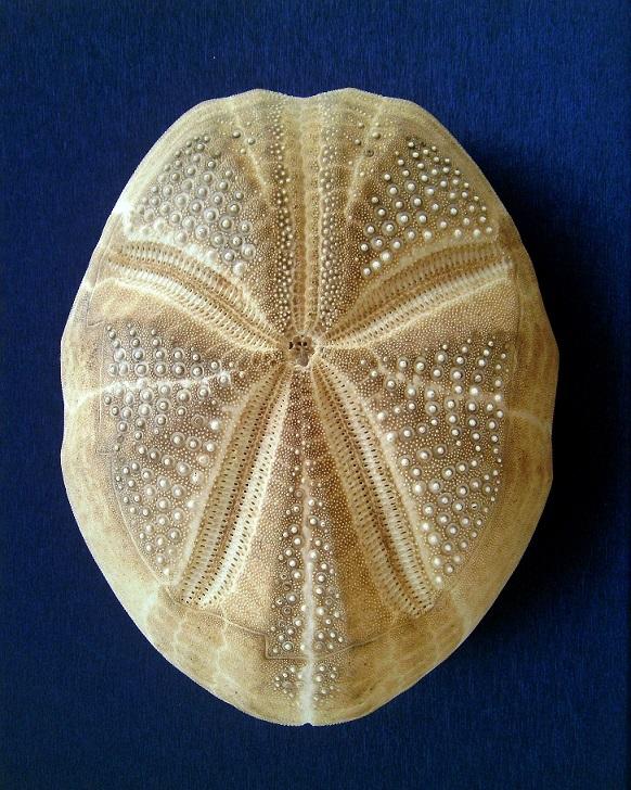 Spatangoida - Brissidae - Plagiobrissus africanus (Verrill, 1871) Pict0026