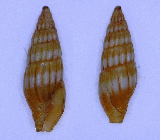 vexillum (pusia ?) du Sénégal à identifier Vexill10
