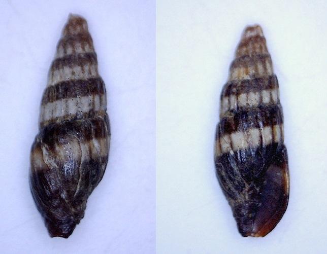 vexillum (pusia ?) du Sénégal à identifier Vexill11