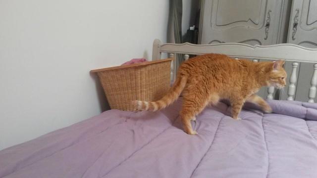 DARWIN, magnifique chat roux, né en avril 2006. Darwin13
