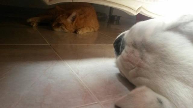 DARWIN, magnifique chat roux, né en avril 2006. Darwin14