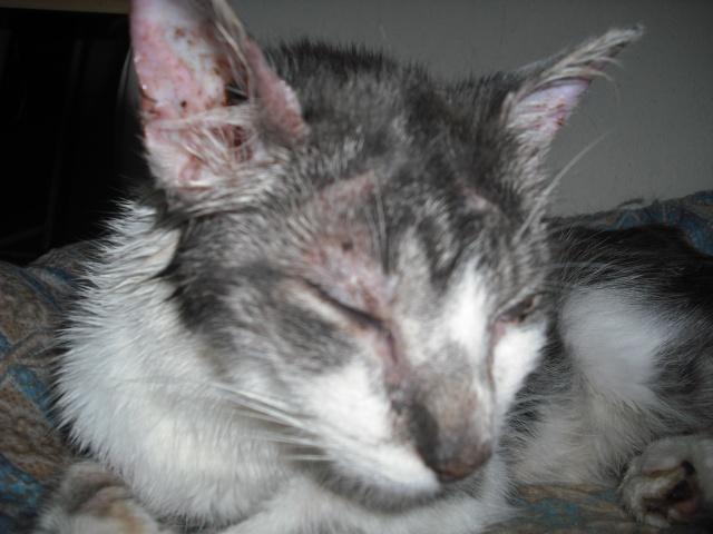 Victoire, chatte grise et blanche, née fin 2013 Dscf6311