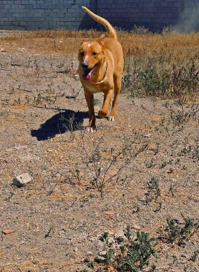 MUFASA,( Devenu HELIOS) timide croisé berger, robe dorée, 3 ans - URGENCE Mufasa12