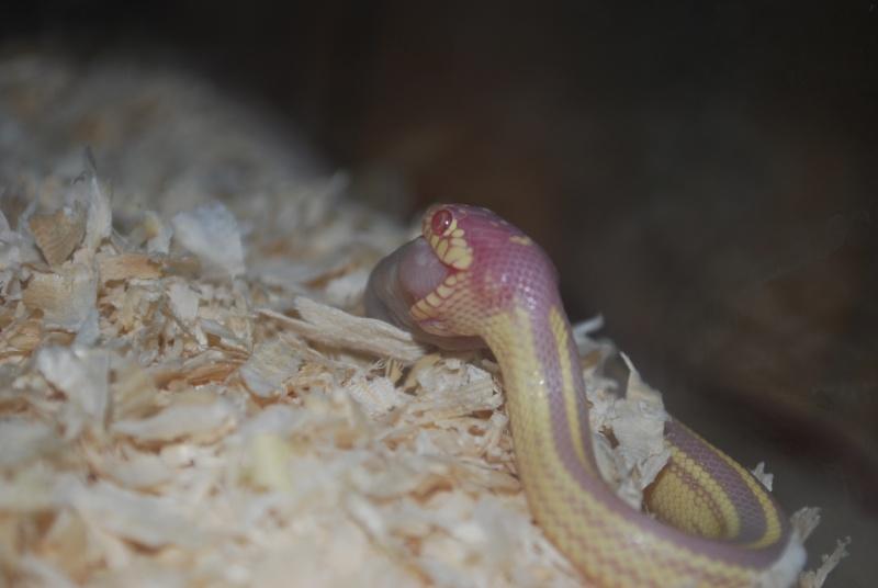 Serpent - Lampropeltis getulus californiae Lampro10