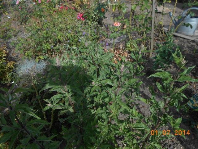 une plante ou du chiendent  1_juil10