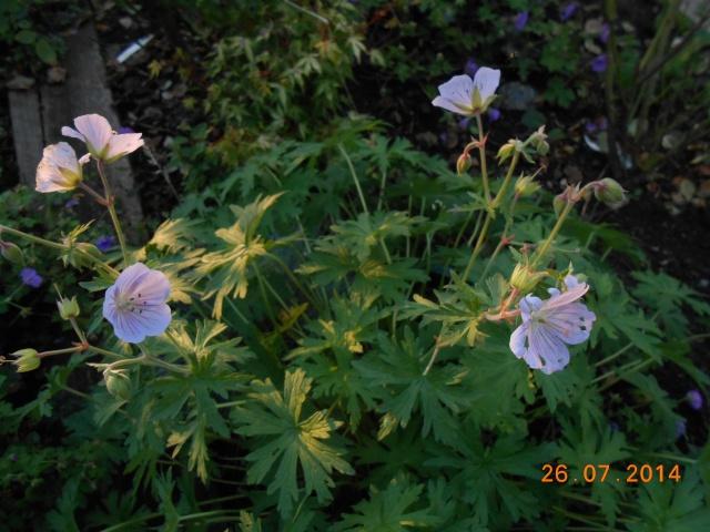 geranium vivace - Page 9 26_jui21