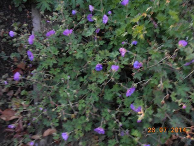 geranium vivace - Page 9 26_jui22