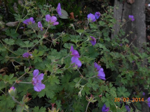 geranium vivace - Page 9 26_jui23
