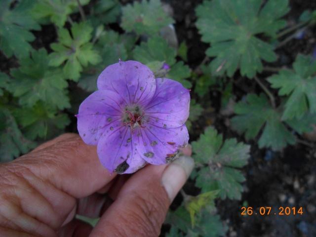 geranium vivace - Page 9 26_jui24