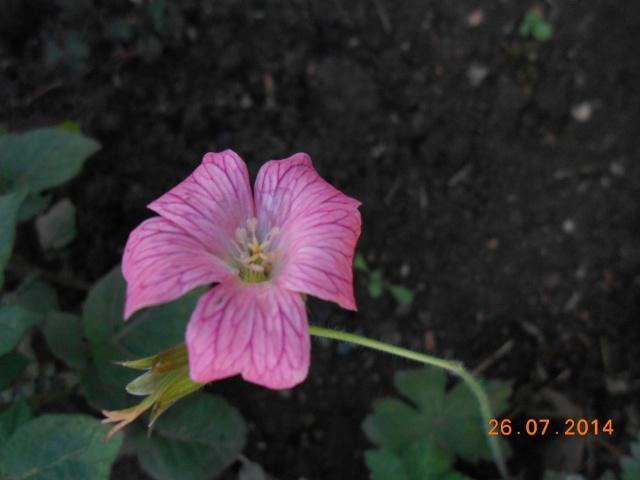 geranium vivace - Page 9 26_jui25