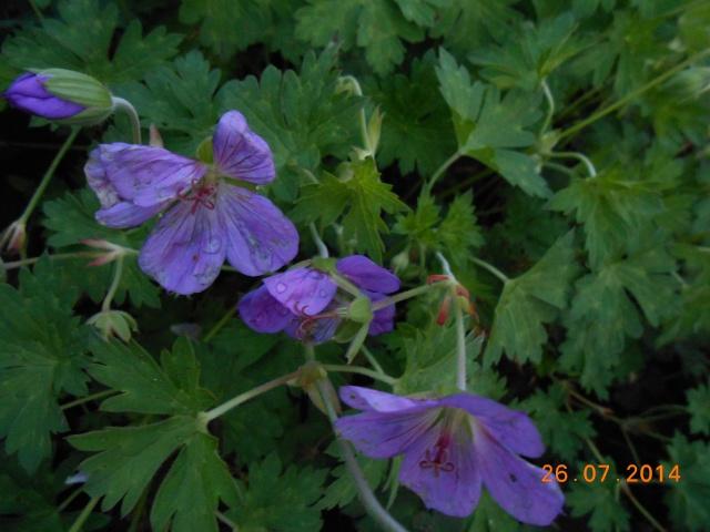 geranium vivace - Page 9 26_jui26