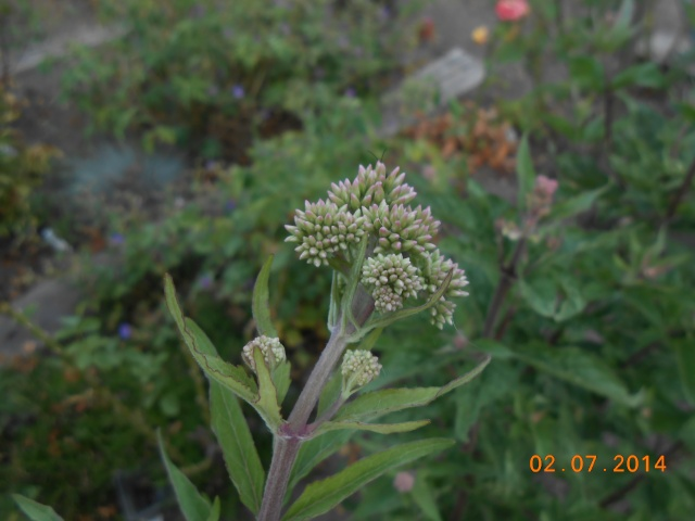 une plante ou du chiendent  2_juil10