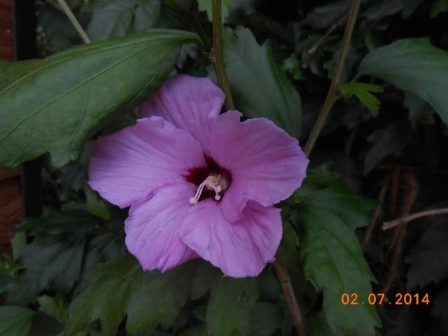 Arbre...?  Hibiscus Syriacus 2_juil13