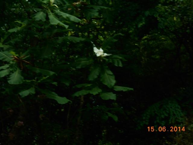 Arborétum Le Chêne vert  Arbora16