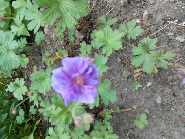geranium vivace - Page 8 Bretag18