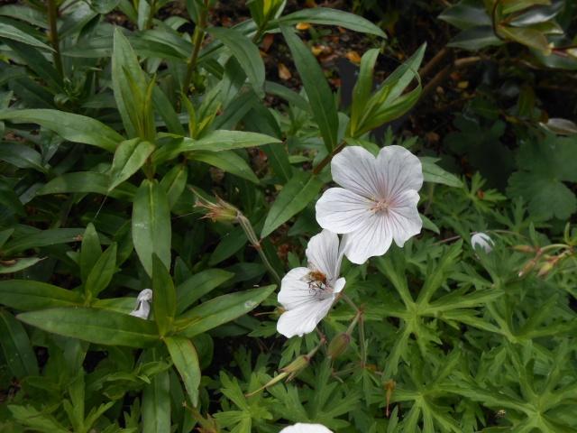 geranium vivace - Page 8 Bretag21