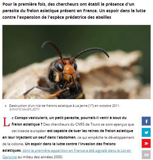 Le frelon asiatique bientot décimé par un nouvel insecte ? Frelon10